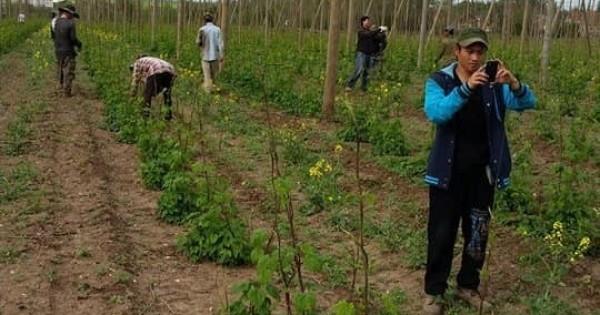 Tuyển lao động phổ thông thời vụ chăm sóc cây Chmel ( men bia )